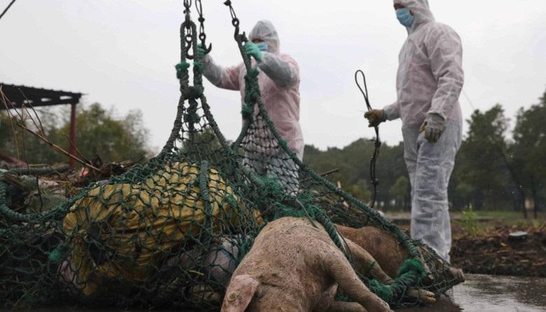 Más de 5 mil cerdos han muerto por PPA