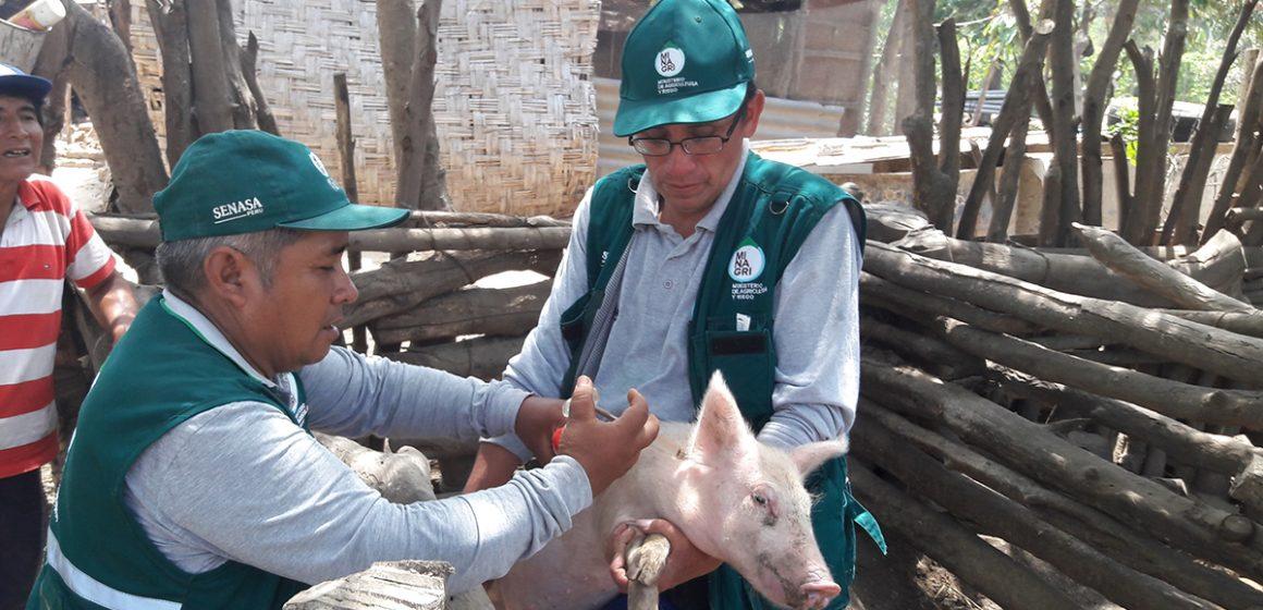 Vacunación contra PPC beneficia más de 7 mil productores en Ayacucho