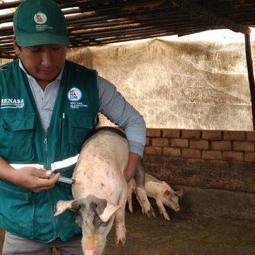 Senasa vacunó 171 mil cerdos contra PPC en Arequipa