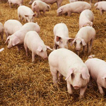 Comportamiento productivo de cerdos en recría hasta acabado sustituyendo el 100% de aceite vegetal por un AGLU