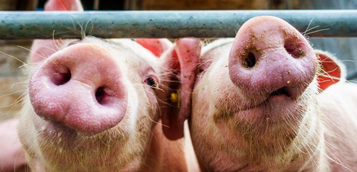 Costos del cerdo suben hasta un 77% en China