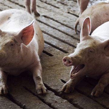 Artritis en cerdos