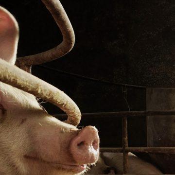Aumenta el valor de la exportación de la carne de cerdo en Europa
