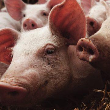 Nicaragua promueve estrategias para fortalecer el sector porcino