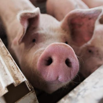Estudio afirma que la edad de los cerdos influye en la Peste porcina clásica