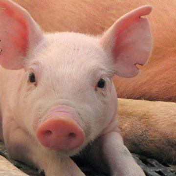 Crean pulseras inteligentes para monitorear la salud de los cerdos