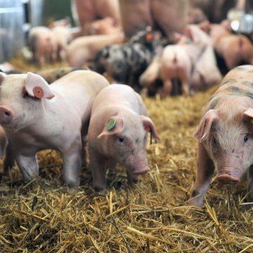 Gobierno chino subvencionará granjas porcinas