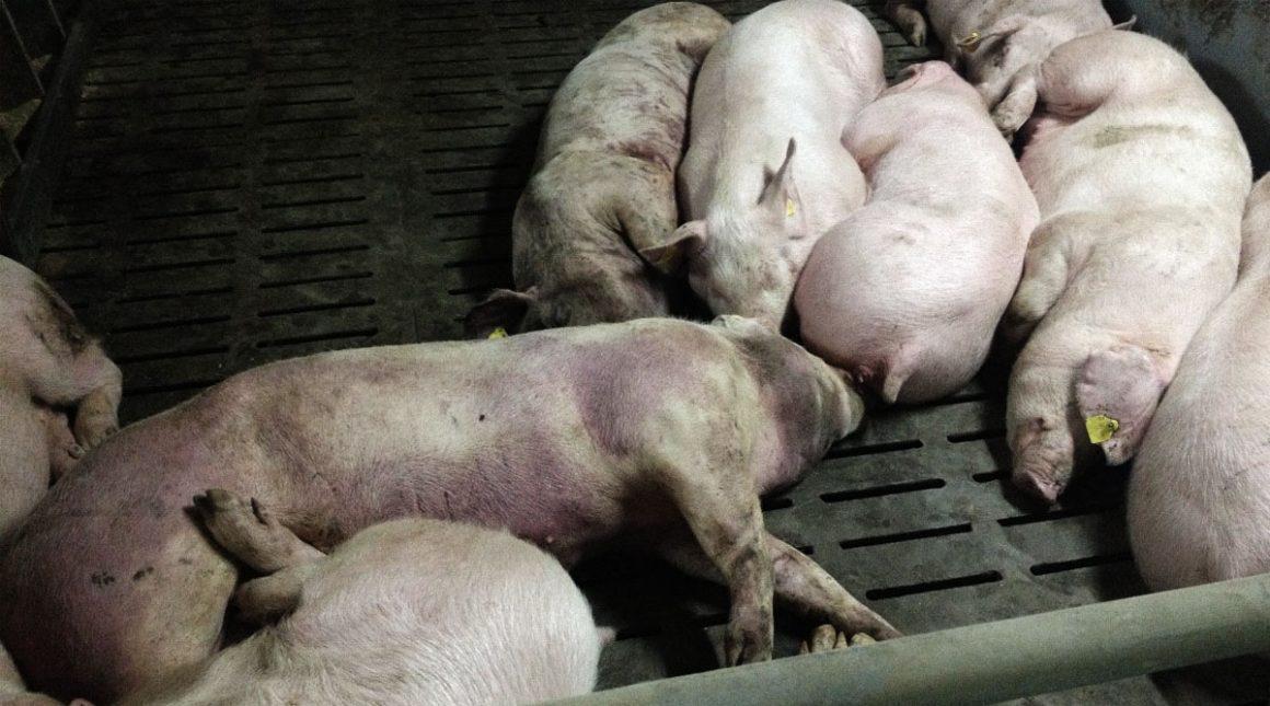Estudio afirma que la Peste porcina africana puede sobrevivir 30 días de viaje transoceánico