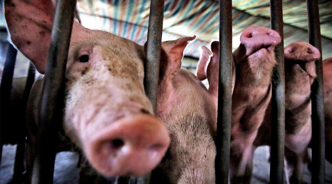 España afirma que existe gran inquietud por la Peste porcina africana