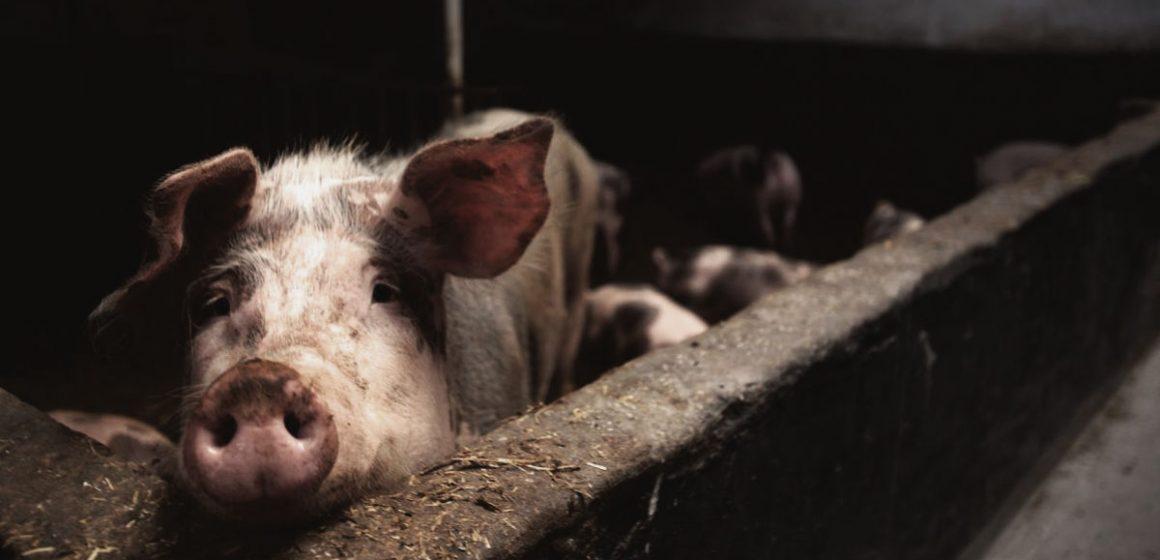 Bulgaria: Peste porcina africana deja miles de muertes