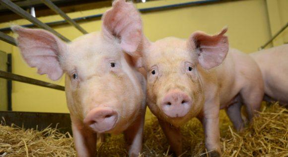 Cerdos transgénicos: beneficio para la producción, salud animal y humana