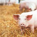 México: porcicultura registra su mayor crecimiento en agosto