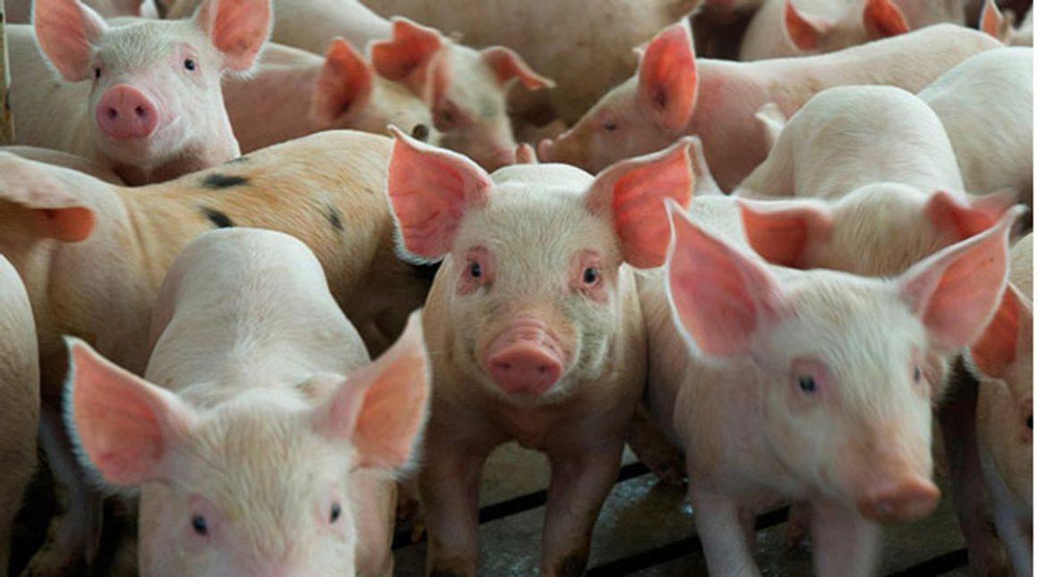 Producción mundial del cerdo decrecerá, afirma la FAO
