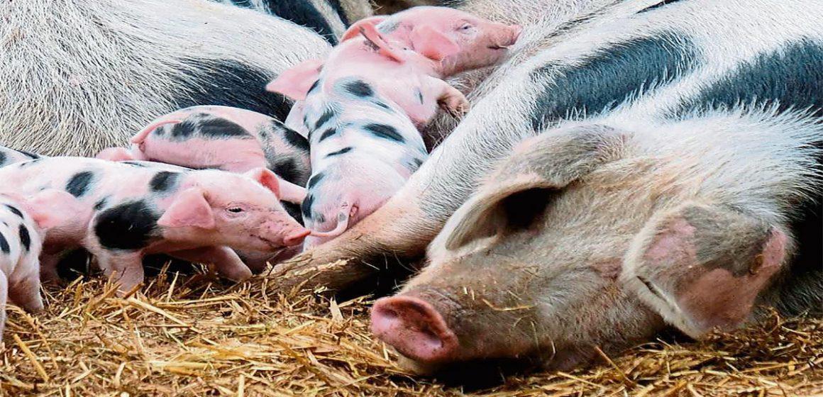 China: importación genética porcina para recuperarse de la PPA