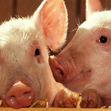 China promueve censos porcinos tras la PPA