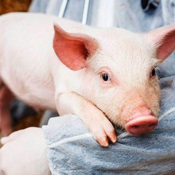 El mundo se une para controlar la Peste porcina africana