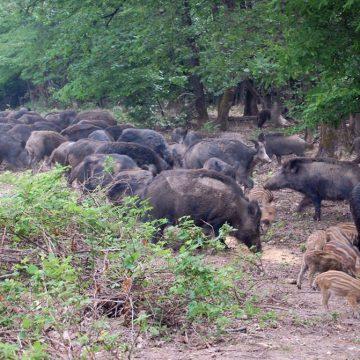 Fortalecen prevención en Croacia por fiebre porcina