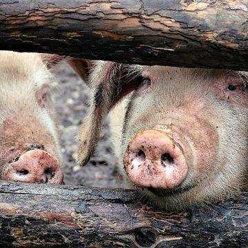Cerca del 80% de los cerdos sacrificados por PPA en Asia pertenecen a Vietnam