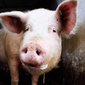 Vietnam perdería cerca del 20% de cerdos a finales de año