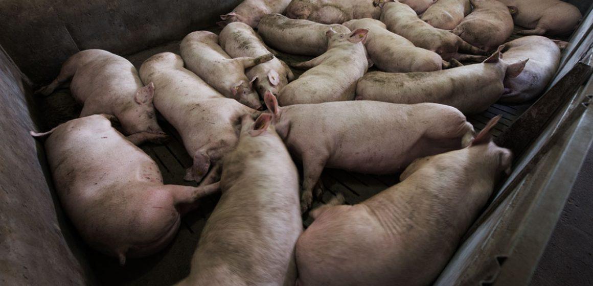 Ica: Minagri y productores porcícolas se comprometieron a optimizar el estatus sanitario del ganado