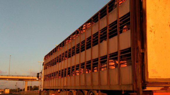 Control del estrés durante el transporte