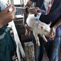 Vacunan cerdos contra fiebre porcina en Cusco