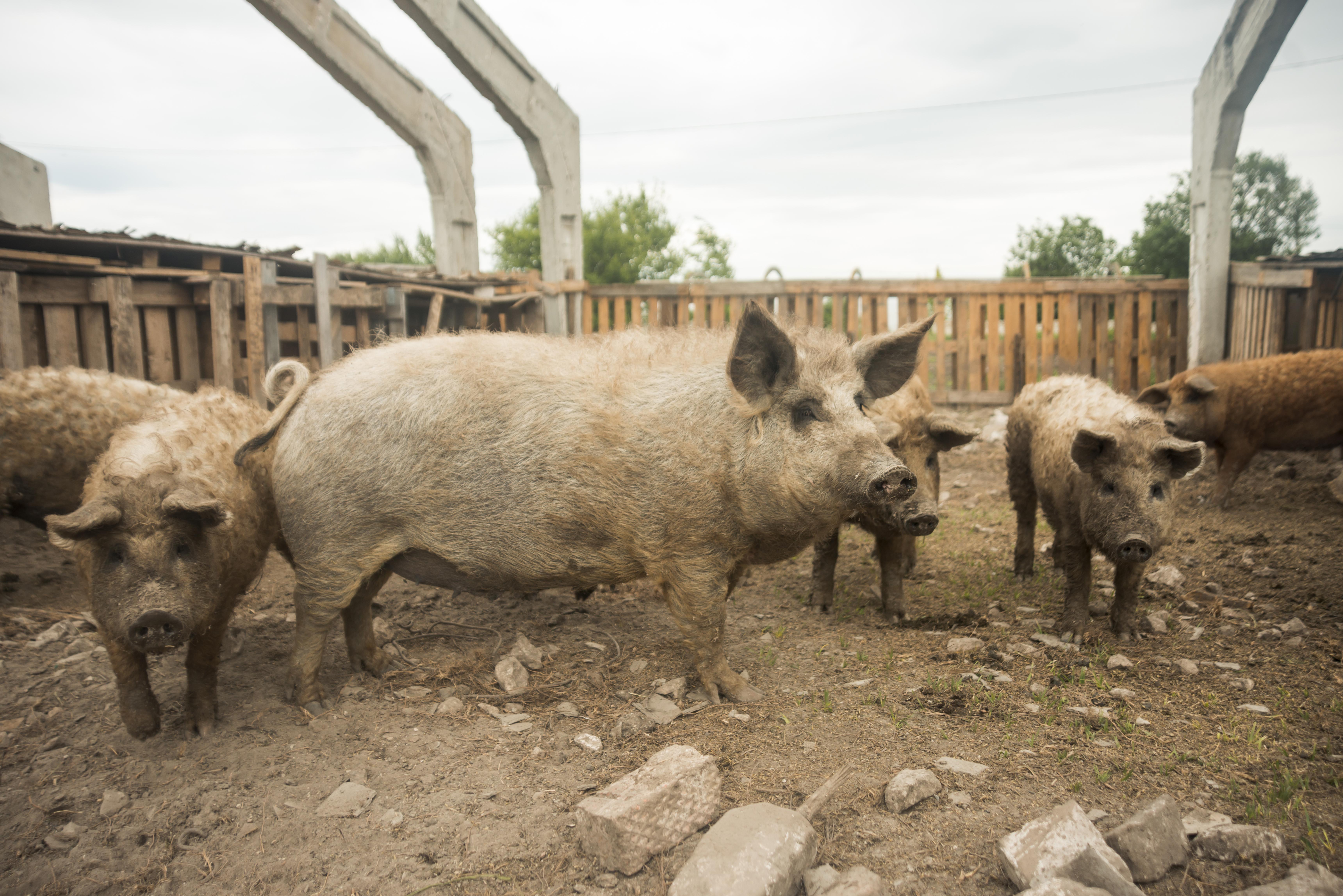 Producción de cerdo crece en España