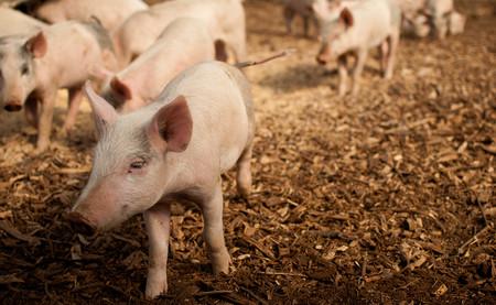 Situación inestable del cerdo afectará a China