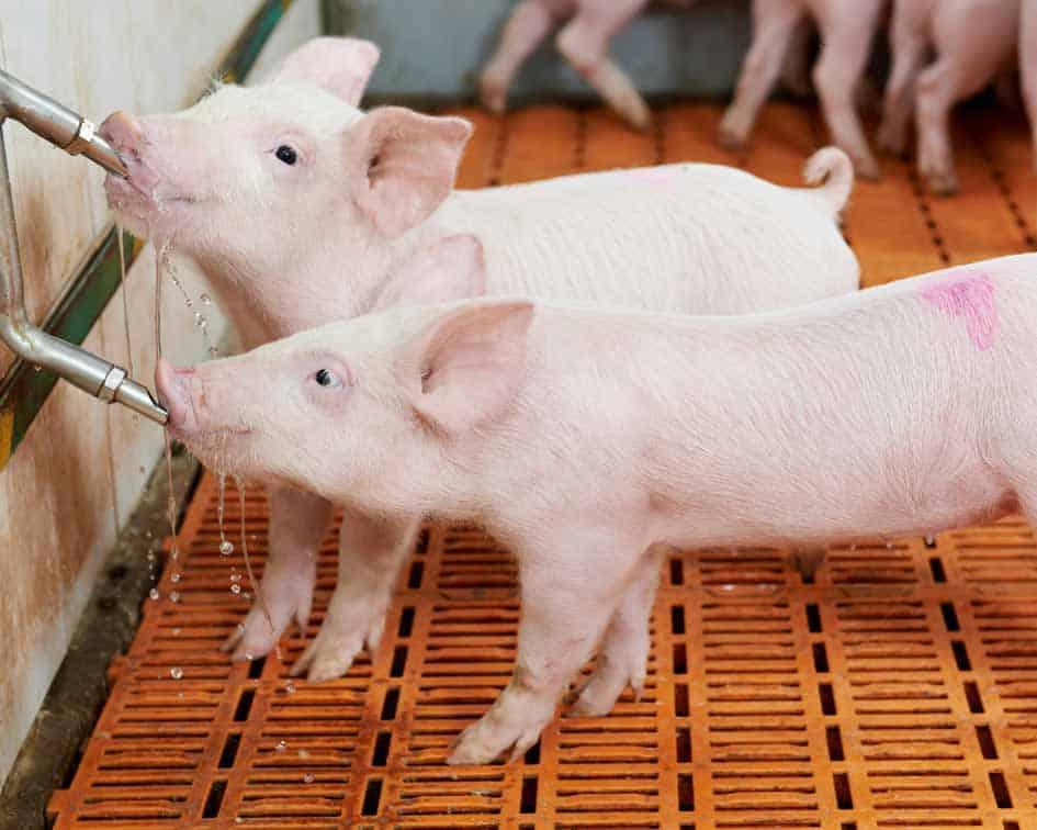 Cuba implementa programas para la producción porcina