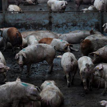 España genera estiércol de cerdo en exceso