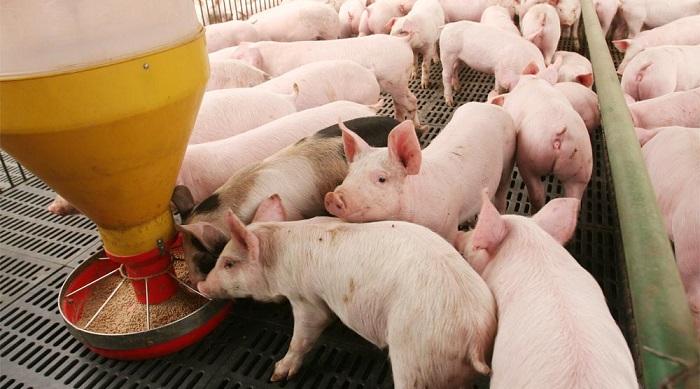Mayor censo porcino se registra en Estados Unidos