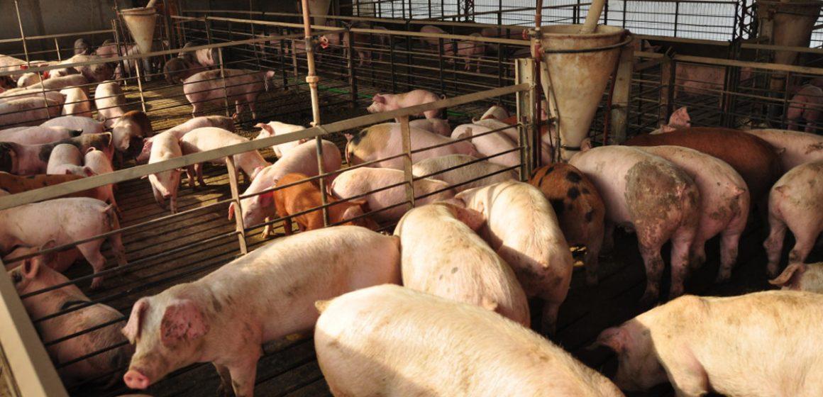 Producción de carne de cerdo crece en Colombia
