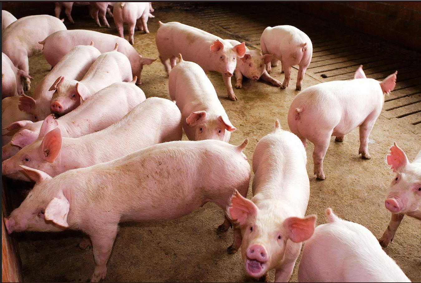 Prepararán vacunación porcina en el Amazonas