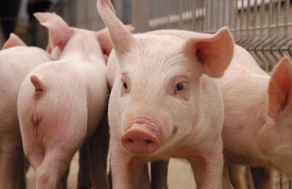Dólar podría afectar el precio del cerdo en Colombia