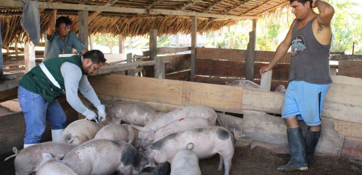 Senasa vacunará 22 mil cerdos contra PPC en Ucayali