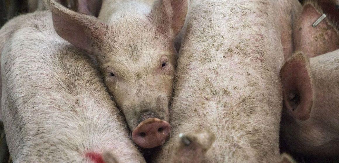 Impacto económico de las enfermedades en producción porcina: una breve revisión