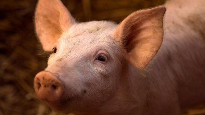Crisis porcina China costará 1200 millones de euros a España