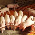 Aumento de oferta normalizará precio del cerdo en China