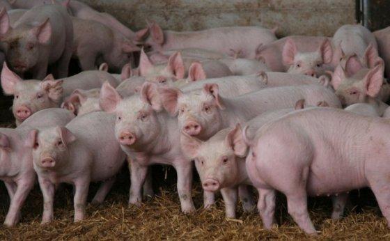 Aumento de oferta normalizara precio del cerdo en China