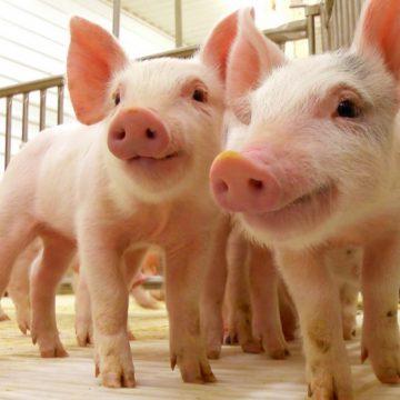 Exportación de carne de cerdo disminuye en Estados Unidos
