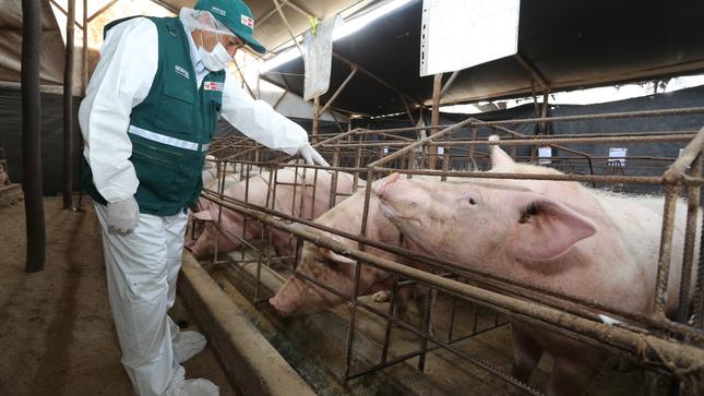 Más de 3 millones de porcinos serán vacunados contra la peste porcina clásica