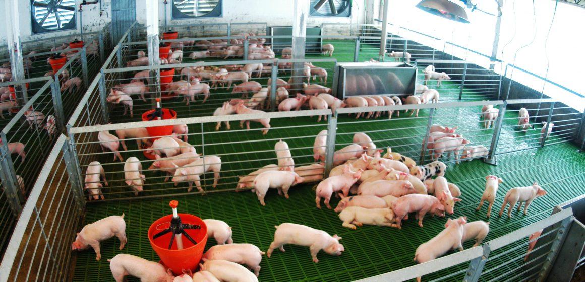 Precio del cerdo aumentará a nivel mundial