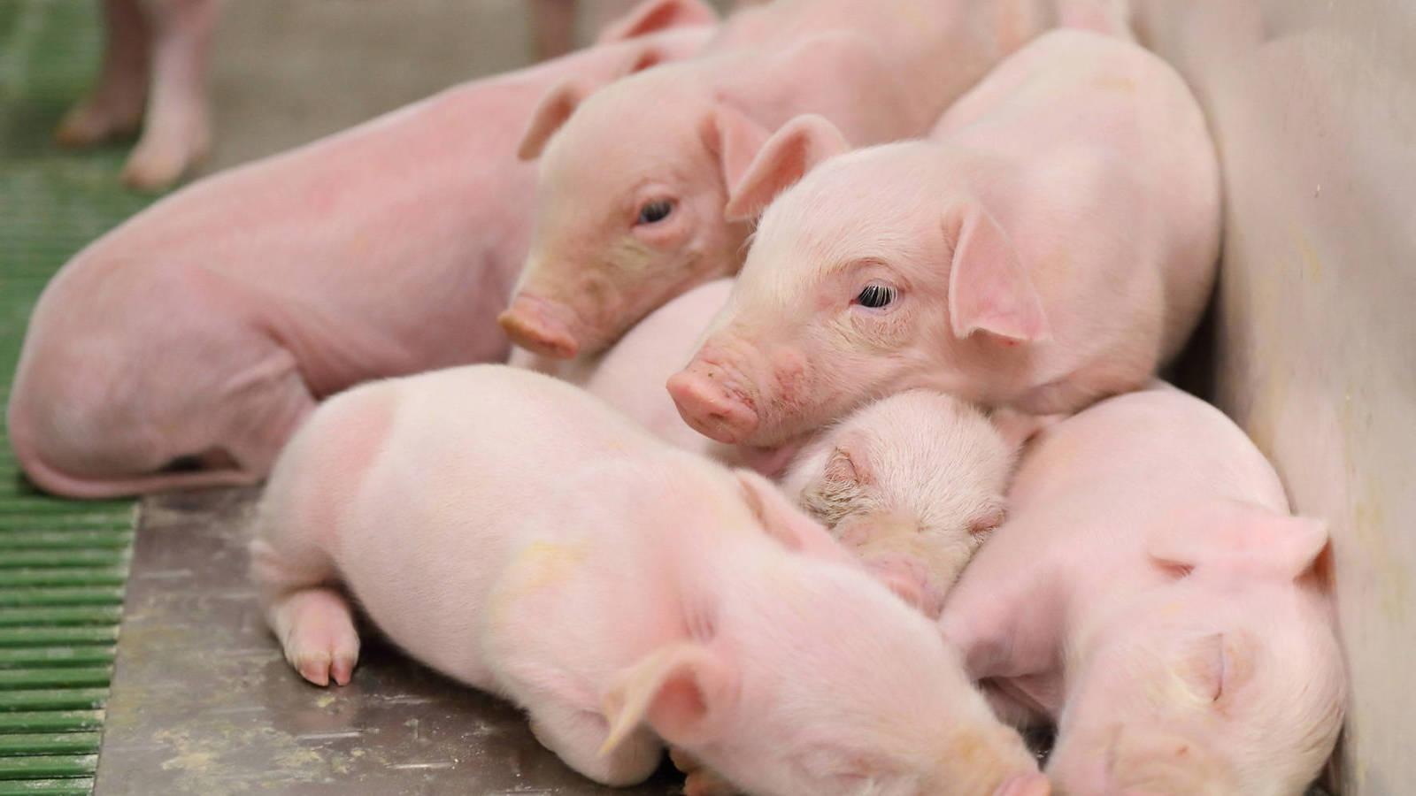 Aseguran no subir precio del cerdo en Honduras