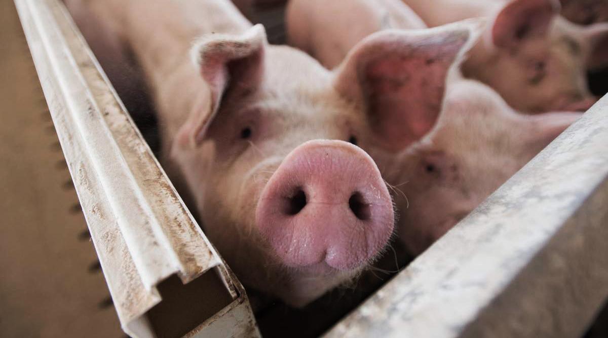 Panamá presentó caída de un 8.9% en la producción de cerdos