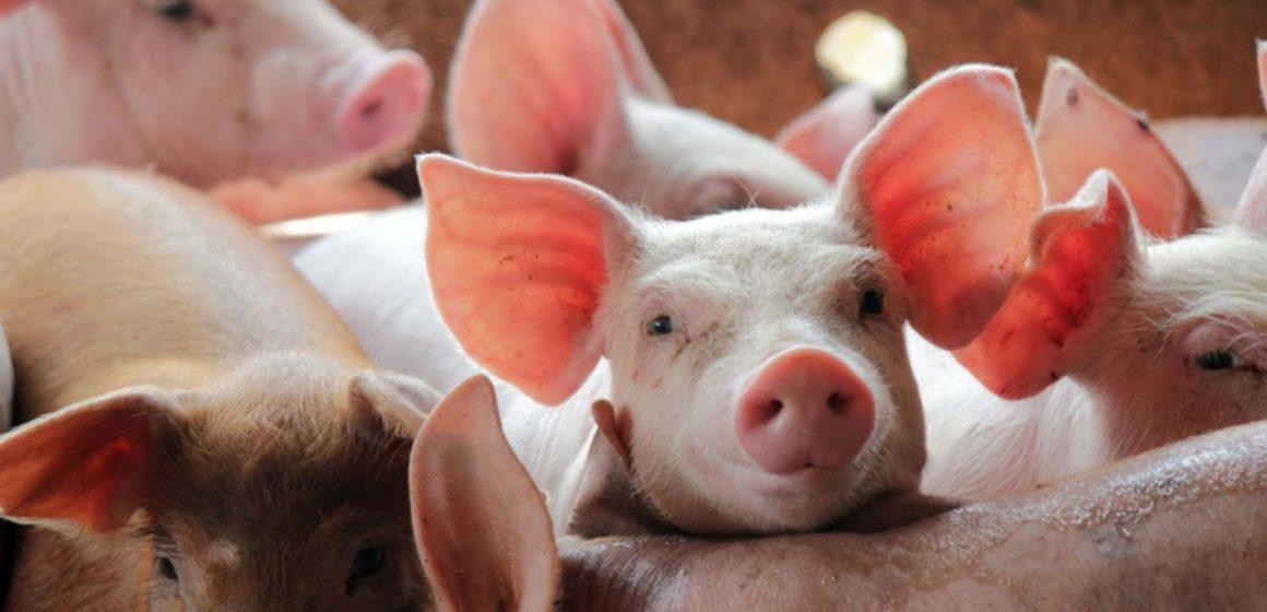 Minagri vacunará contra PPC en Amazonas