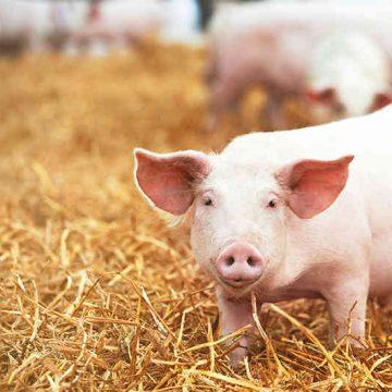 España crece en producción porcina