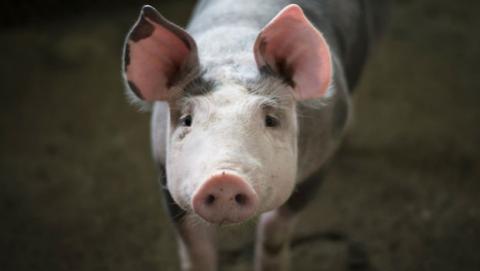 Nicaragua organiza congreso sobre genética y nutrición porcina