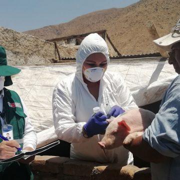 Minagri protegió cerdos contra PPC en Tacna