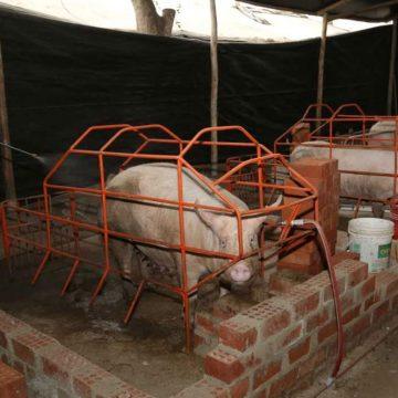 Minagri prohíbe importación de carne de cerdo de países afectados por PPA