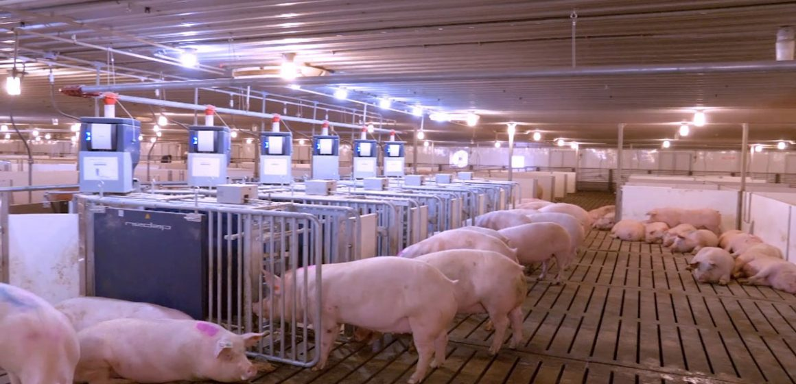 China publica campaña para recuperar producción porcina